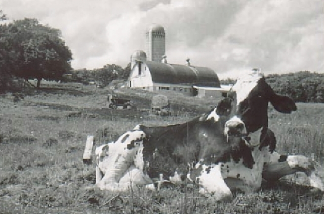 Minnesota Cow